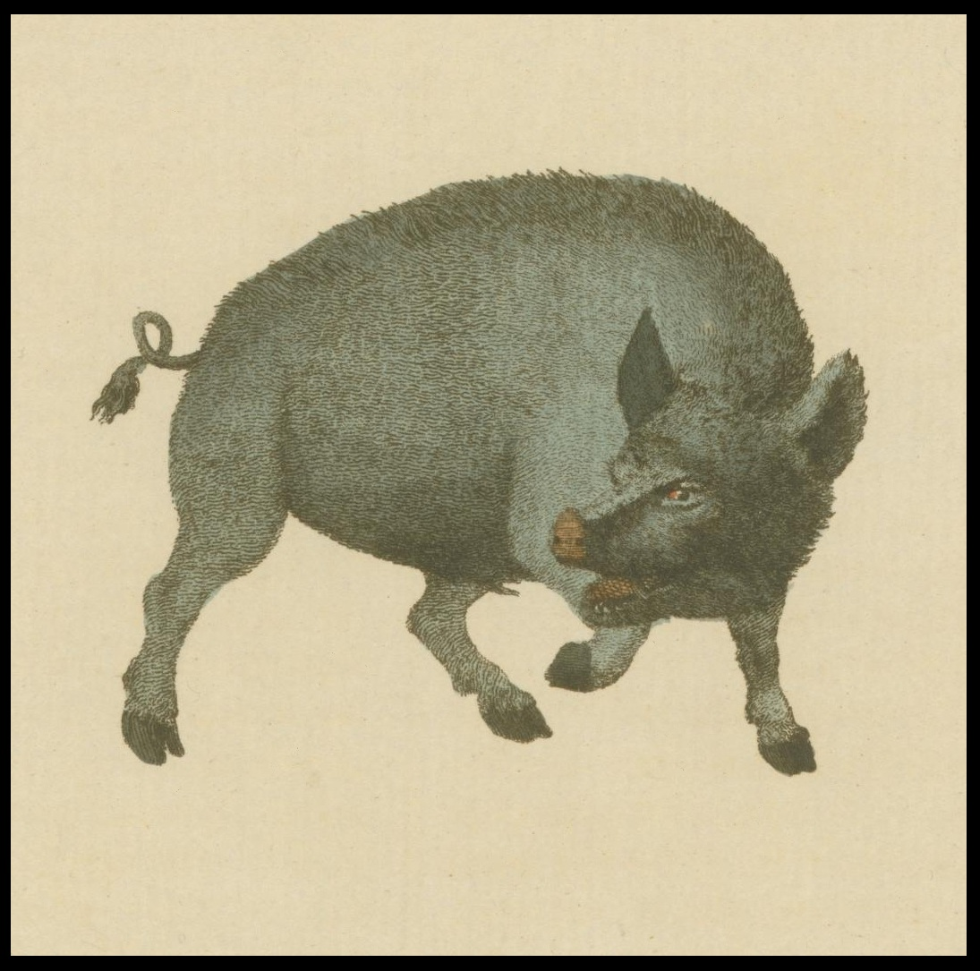 wild boar illustration - 18th c. book illustration