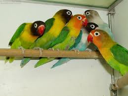 gambar love bird