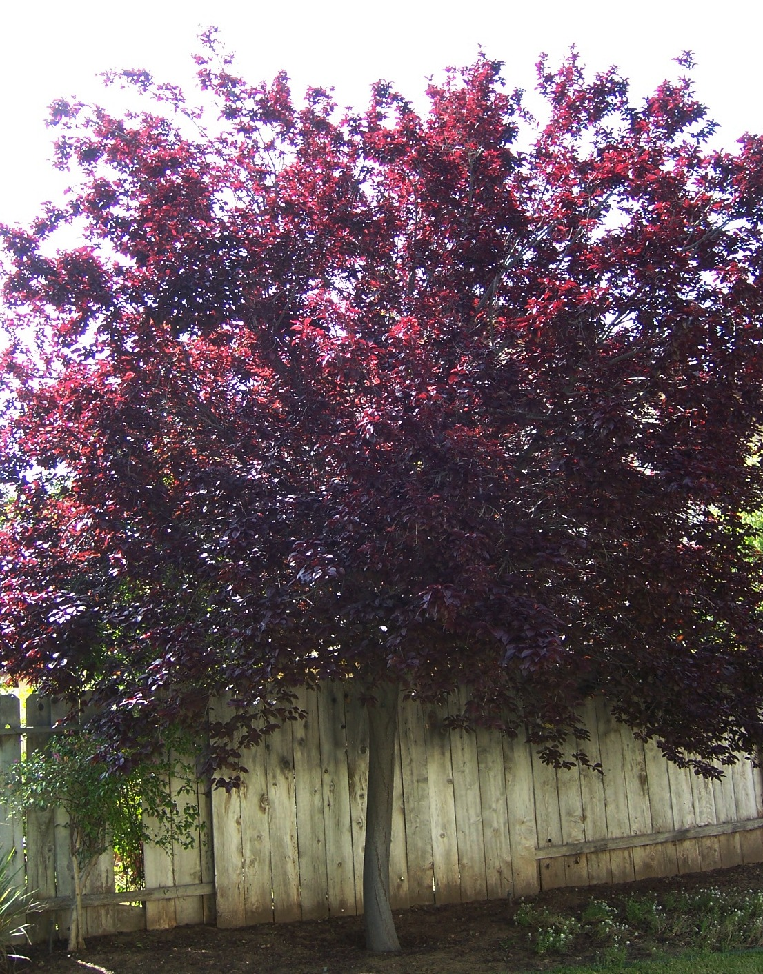 Plum Tree Bing images
