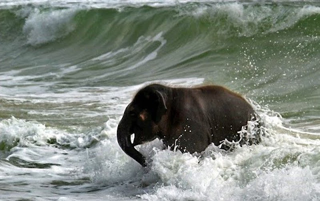 elephant on beach, baby elephant playing, cute baby elephant, baby elephant playing at beach, cute baby elephant pictures