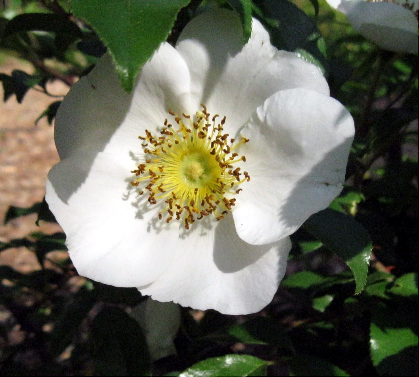 1003 gardens 4 15 12 4 22 12 for Cherokee rose