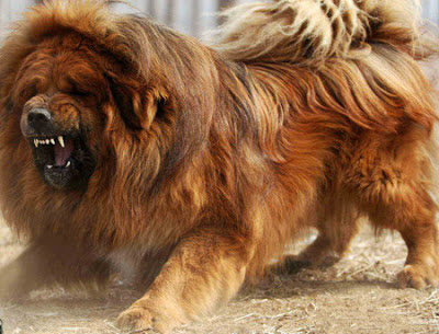 Tibetan Mastiff Dogs Latest Information And Pictures | All Wildlife ... Leonberger Attack
