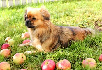 Høygravid under epletreet