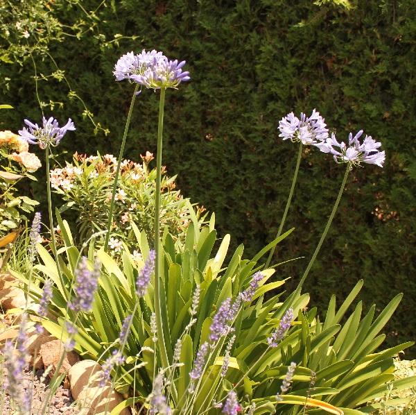 Agapanto guia de jardin aprende a cuidar tu jard n - Guia de jardineria ...
