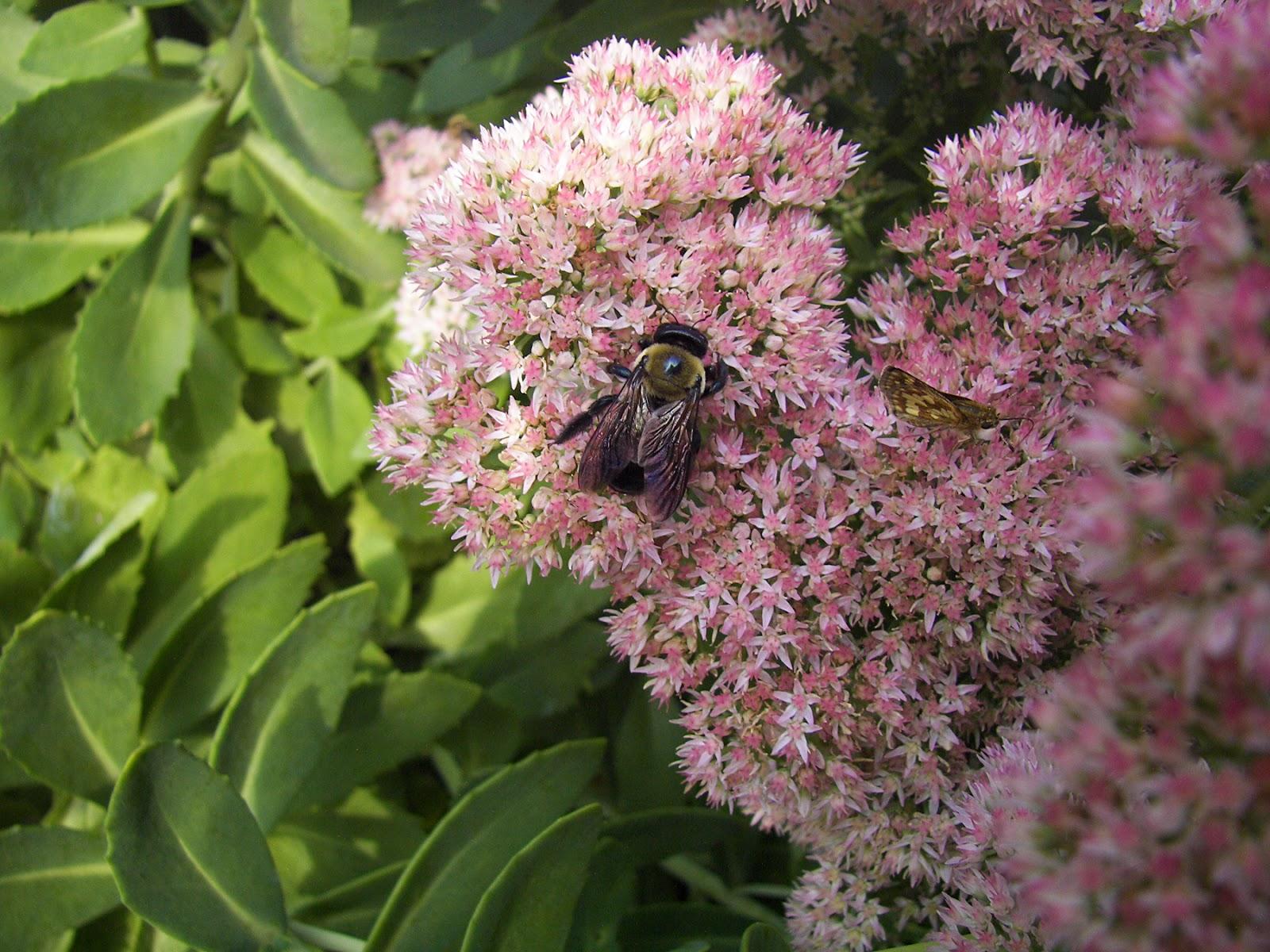 Bumblebee on Stonecrop sedum