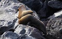 Fur Seals at Vicente Roca Point, Isabela Island, Galapagos