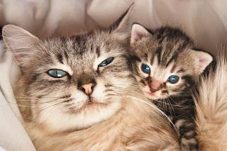 cats pregnant
