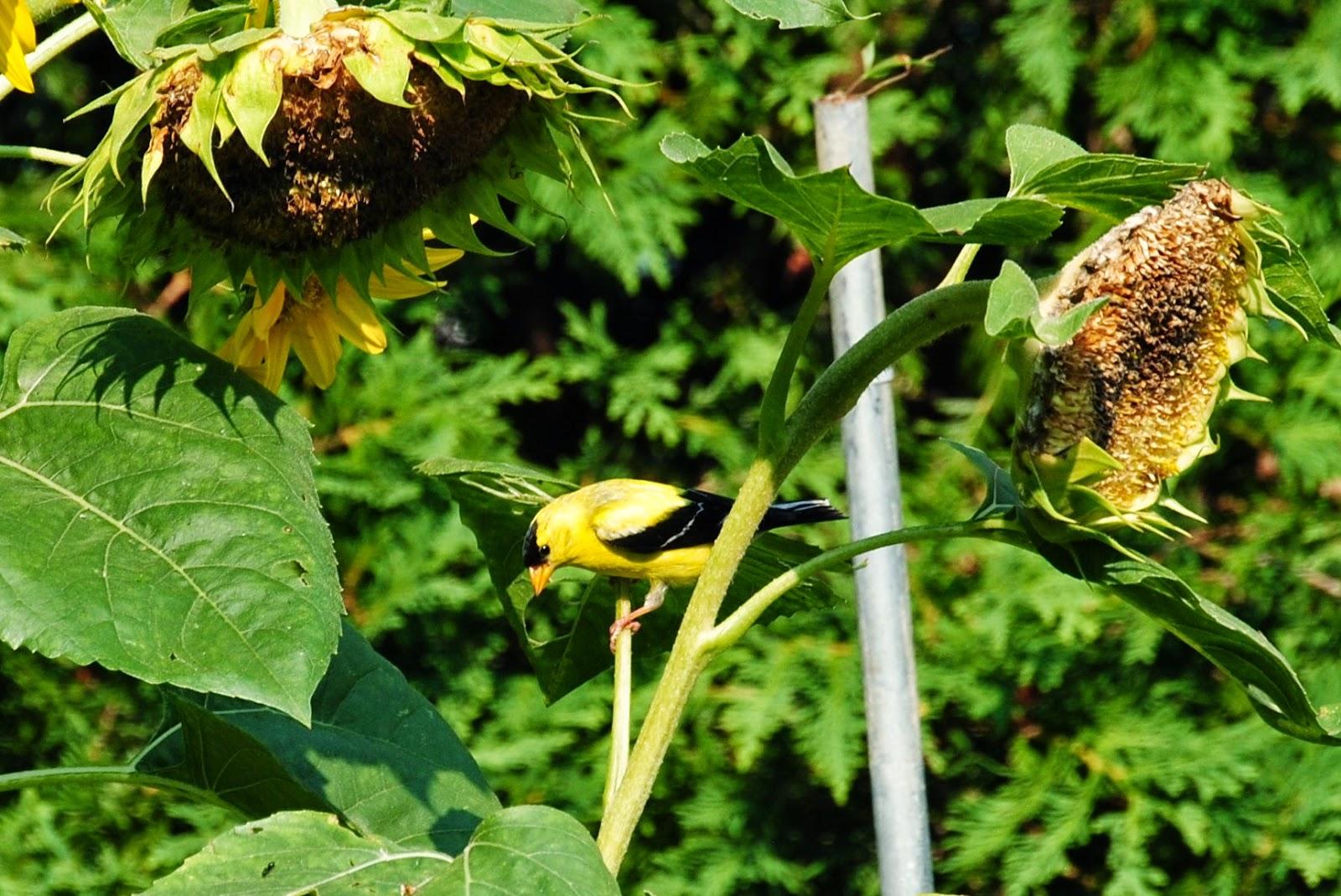 Goldfinch enjoying sunflower