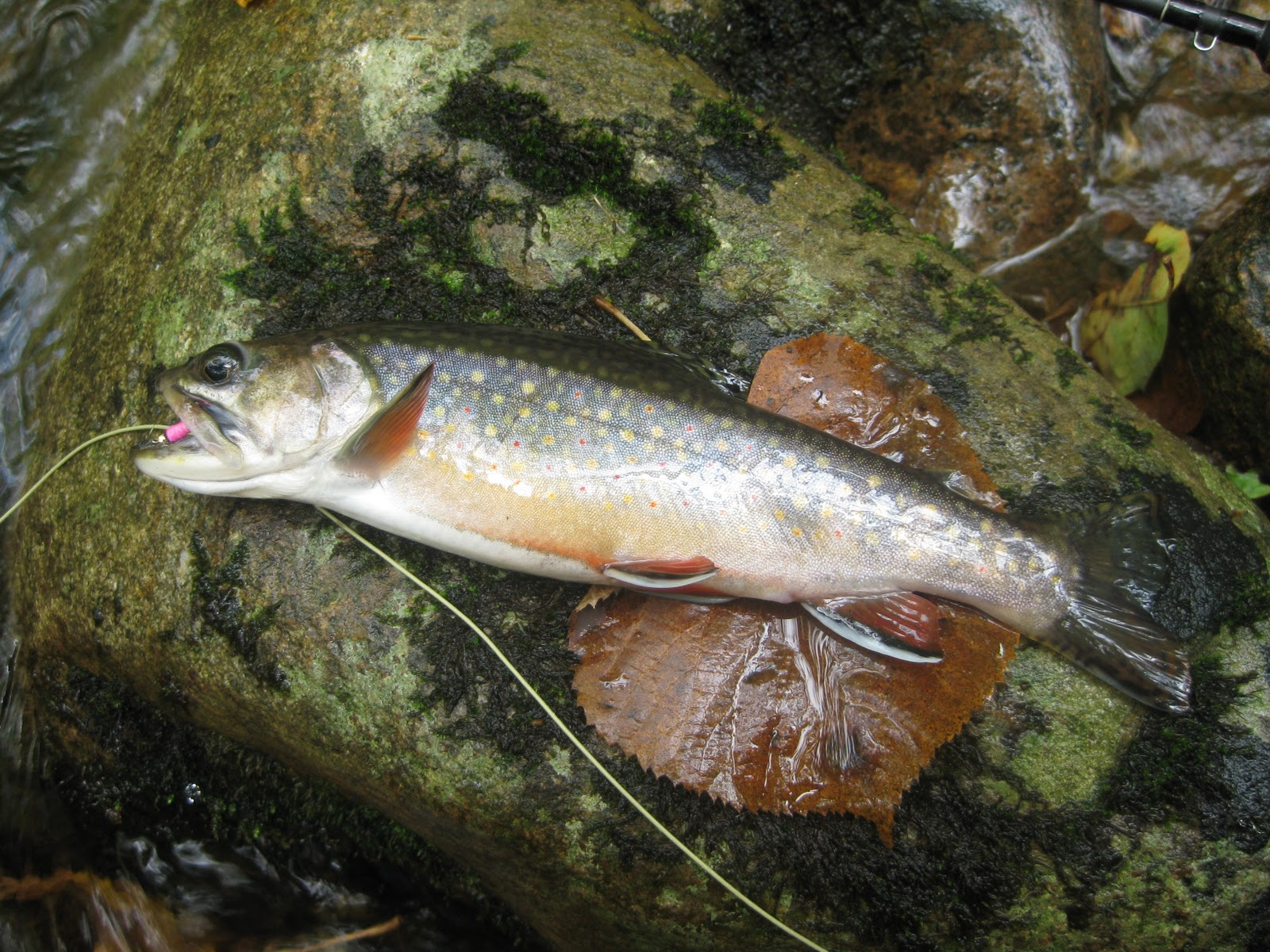 Virginia fly fishing for Trout fishing va