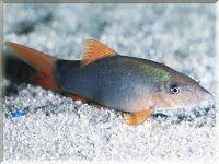Orange Finned Loach Fish Pictures