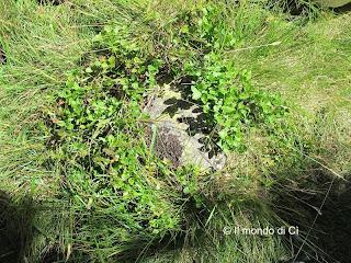 La pianta dei Mirtilli selvatici