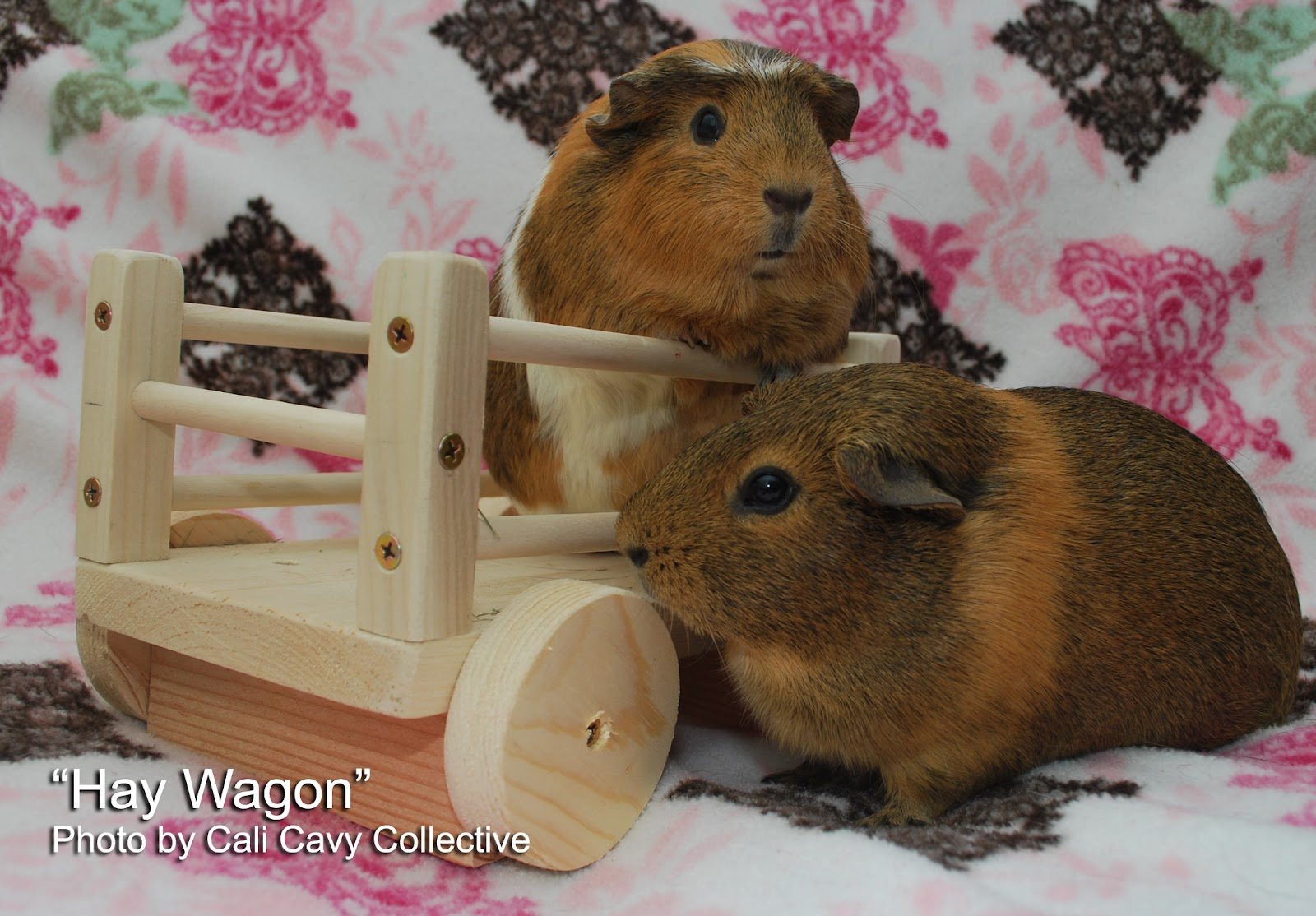 Guinea Pig Toys : Cali cavy collective a about all things guinea pig