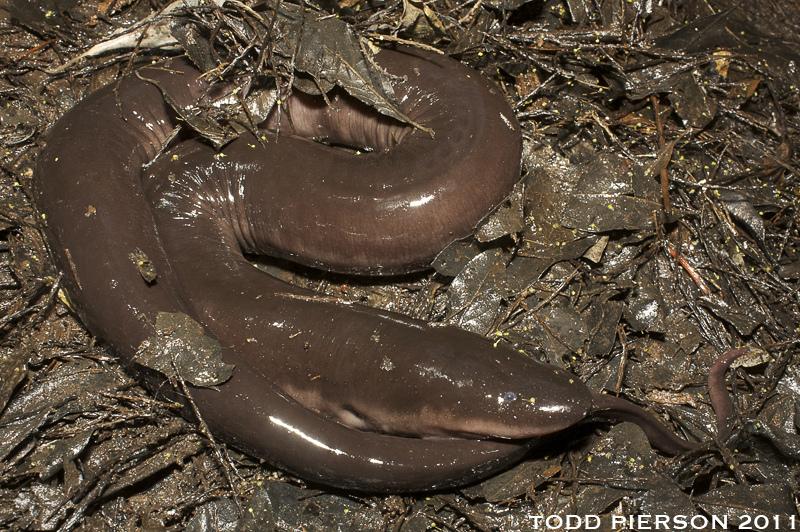 Real Monstrosities: Amphiuma