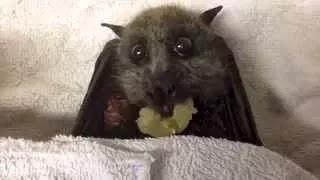 Летучая мышь ест виноград