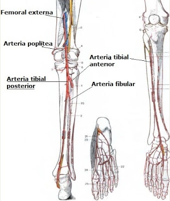 Pharmacology Sciences: Posterior Tibial Artery