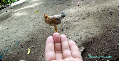 Hen at the tip of my finger