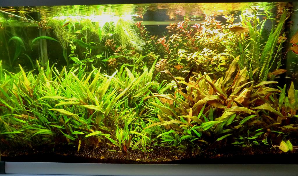 The Fishtank: Cryptocoryne Jungle 250 liters Planted Tank