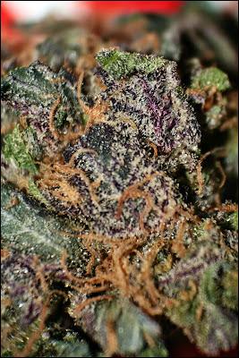 variedade de Cannabis - plantar cannabis