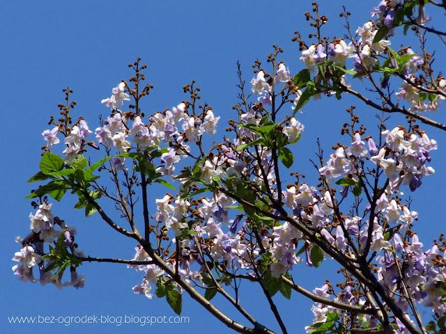 kwitnąca paulownia puszysta