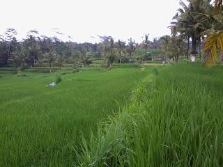 Bersepeda pemandangan sawah Bali