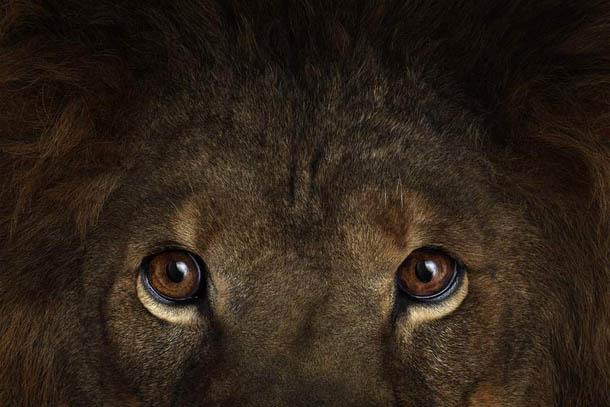 fotografia de animais selvagens- Brad Wilson - leão