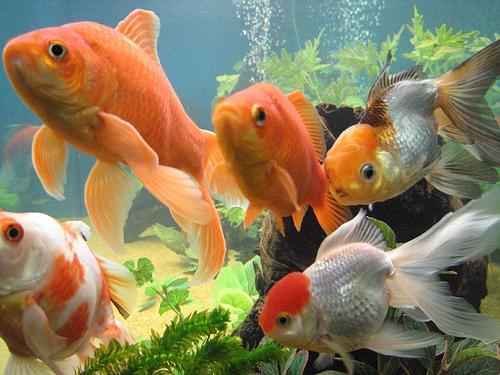 147842927 c0462b9414 Japon Balıkları