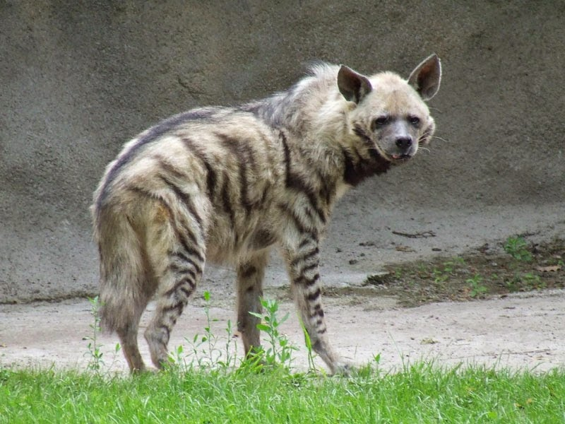 Hyena, Sathyamangalam Wildlife Sanctuary