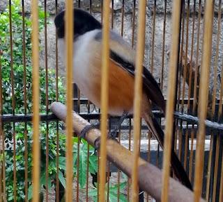 Cara Merawat Burung Cendet yang Ngedrop