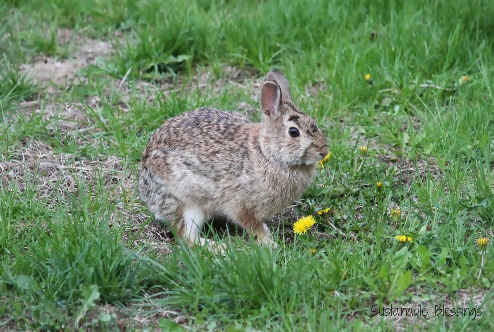 Wild Backyard Rabbits : Sustainable Blessings Back Yard Wildlife