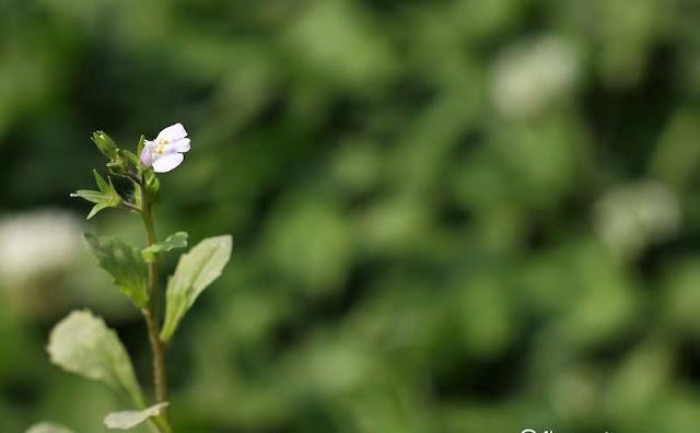 Mazus Japonicus Flowers Pictures