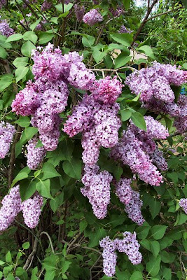lilac bush loaded with purple blooms