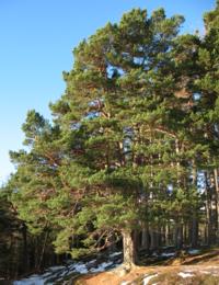 Ailim the Pine tree