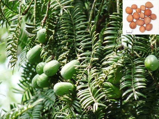 Torreya grandis Fort. (Fam. Taxaceae)