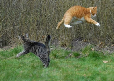 Foto kucing berantem yang keren 05