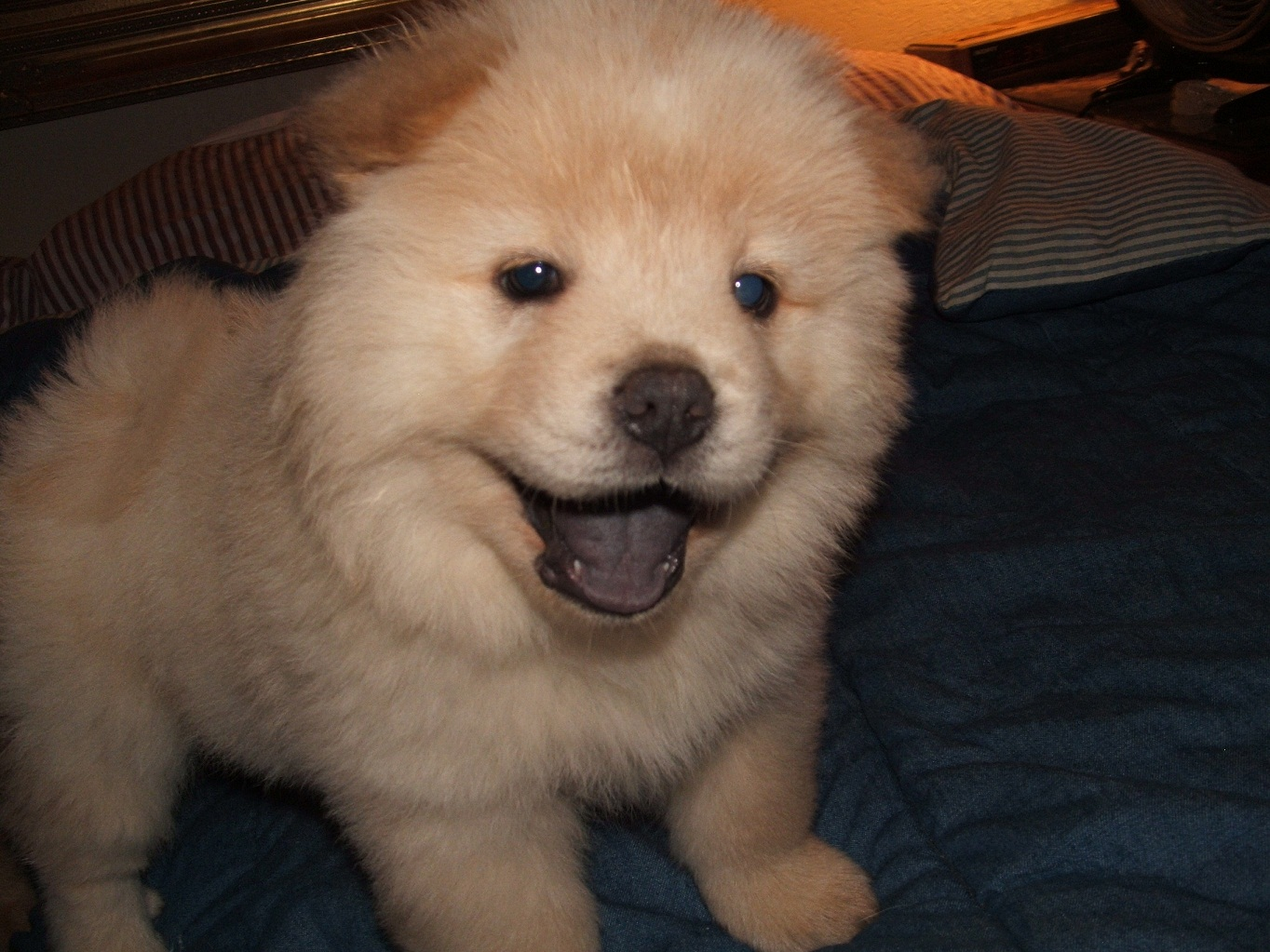 Chow Chow Puppy Pictures | Puppy Pictures and Information