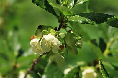 Rhododendron albiflorum (White-Flowered Rhododendron, Cascade Azalea)