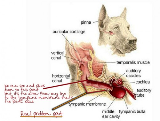 Dog Ear Yeast Infection Treatment Home Remedy