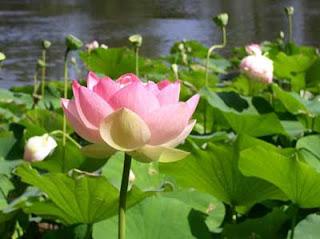 Spesifikasi Bunga Lotus