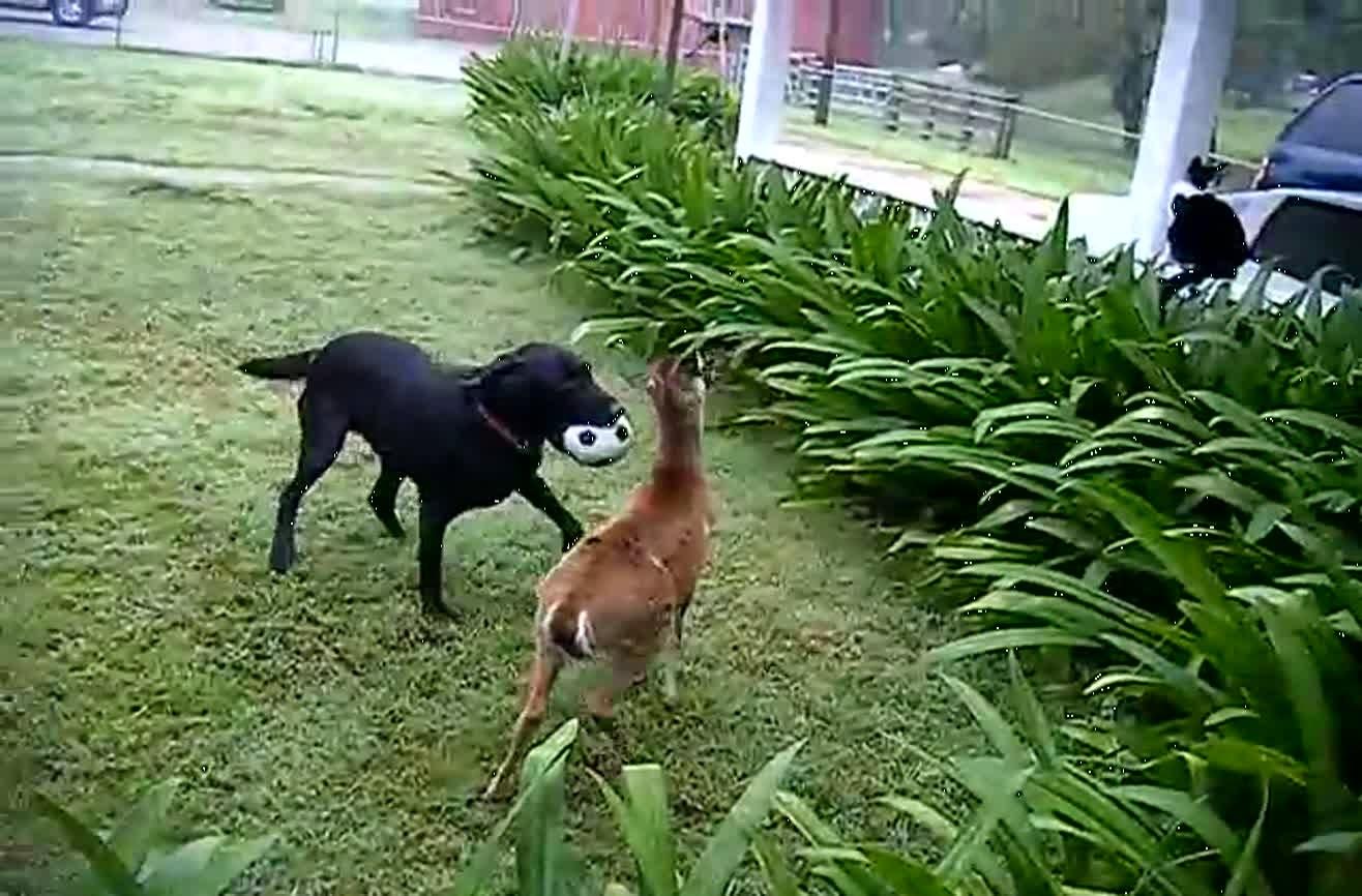 My Dog Likes To Eat Deer Corn
