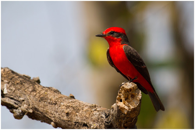 A photograph of a vermilion Flycatcher taken in the Pantanal in Brazil
