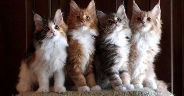 Persian Cat Average Litter