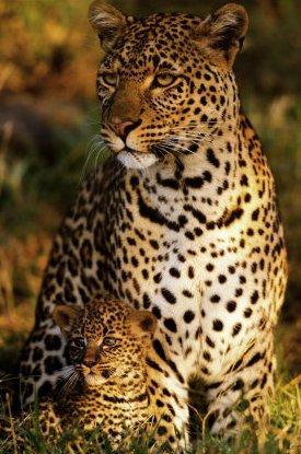 Leopardo hembra y su pequeña cría