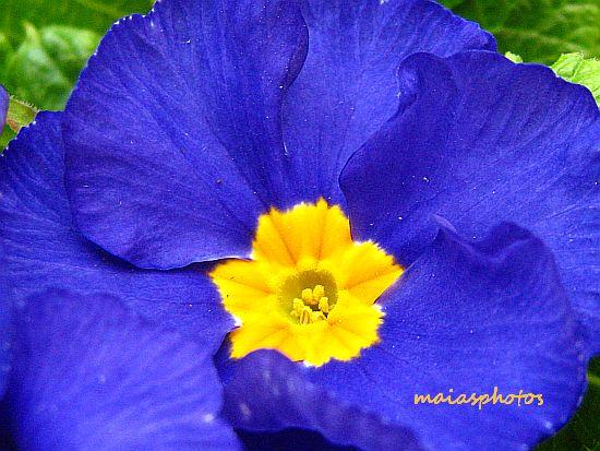 Blue primula-Primrose macro