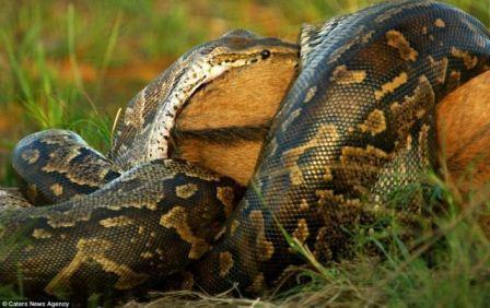 ular raksasa terbesar di dunia