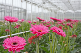 Pretty Pink Flowers Growing Wild in a Commercial Glass Greenhouse