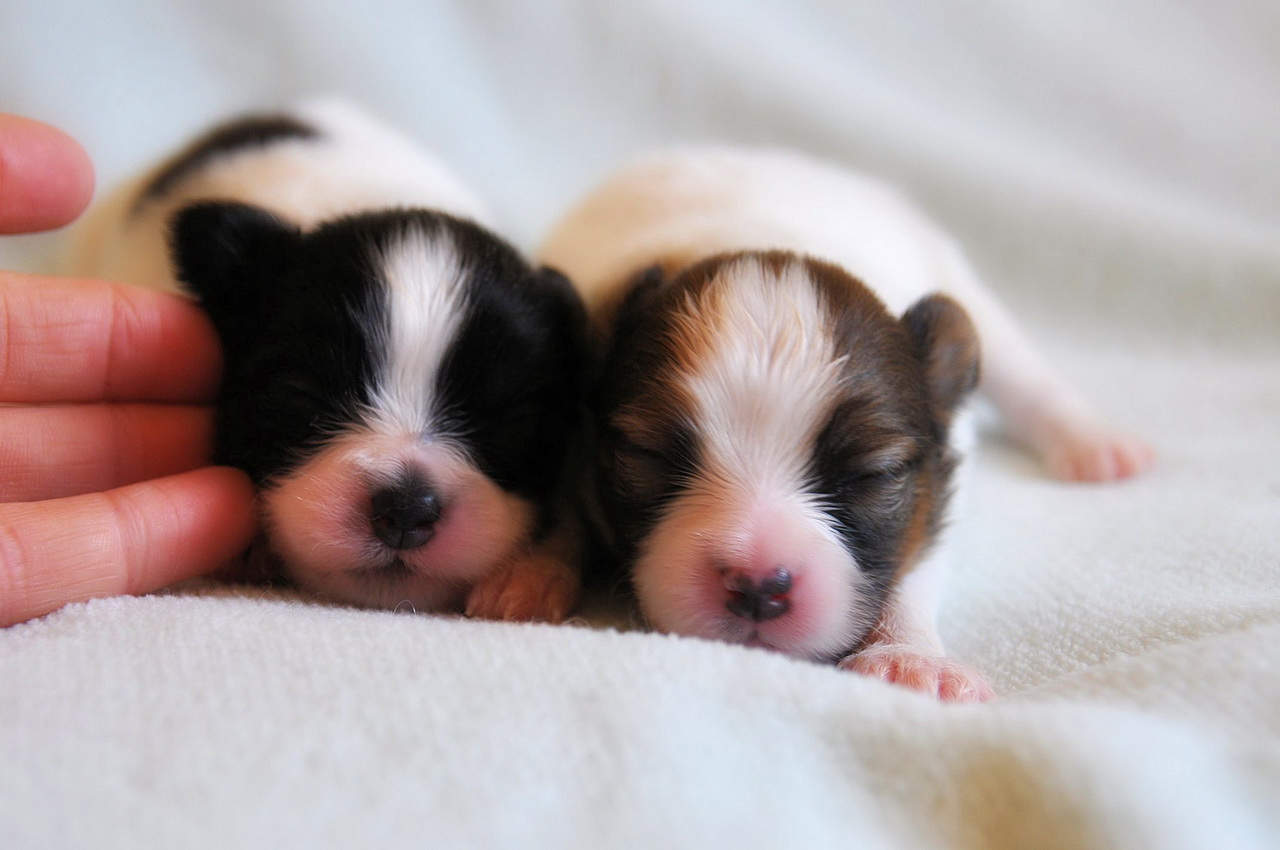 Roads End Papillons 12 Day Old Papillon Puppies