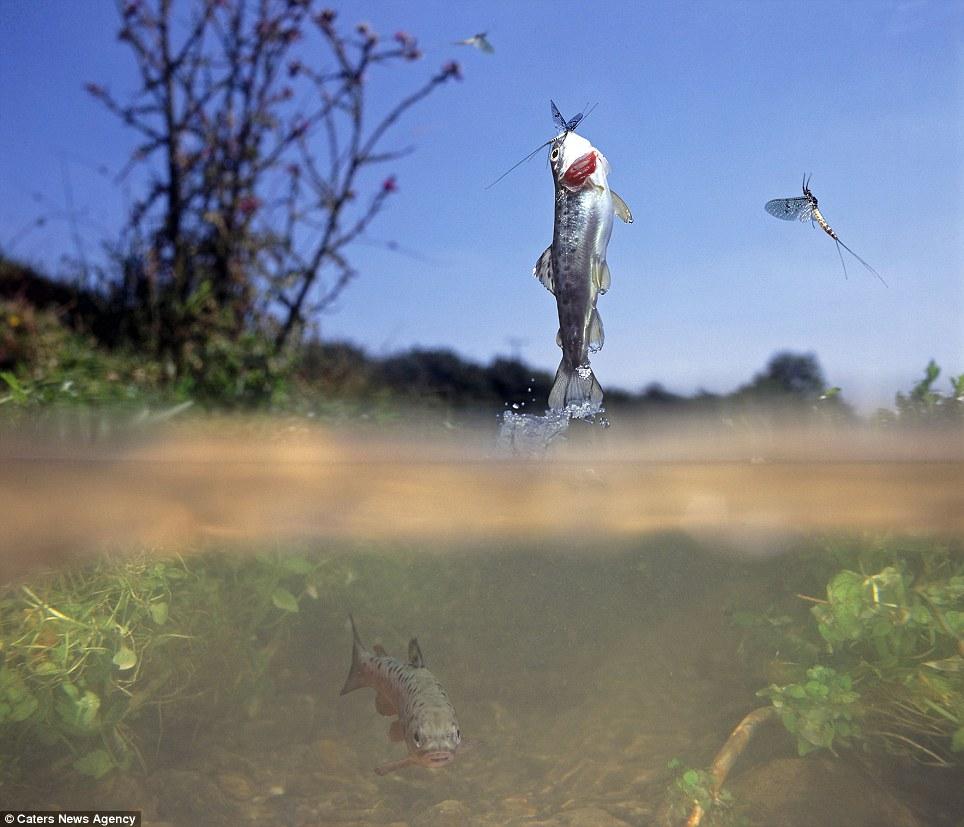 Gambar anak ikan trout ketika melompat dari air untuk menangkap lalat