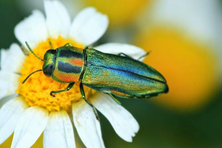 Anthaxia scorzonerae