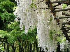 英勝寺のシロフジ