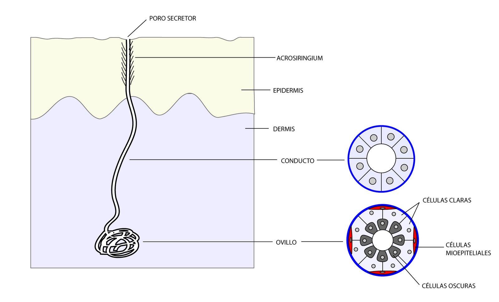el moderno prometeo: Anexos cutáneos: glándulas sudoríparas